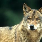 Seconda storia d'amore: il lupo Slavc trova l'amore di Giulietta dopo duemila chilometri  nel parco naturale della Lessinia