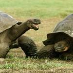Le tartarughe delle Galapagos e i varani di Lombok stanno bene