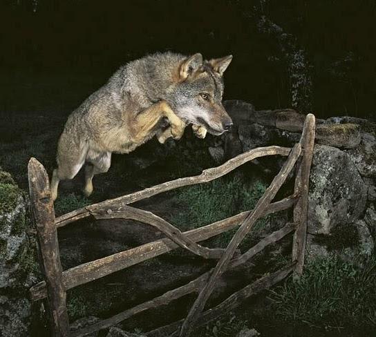 Aulo Crisma: I lupi sui Lessini