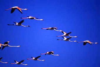 Roberto Dall'Olio: Fenicotteri in volo. La bellezza di una nuvola rosa