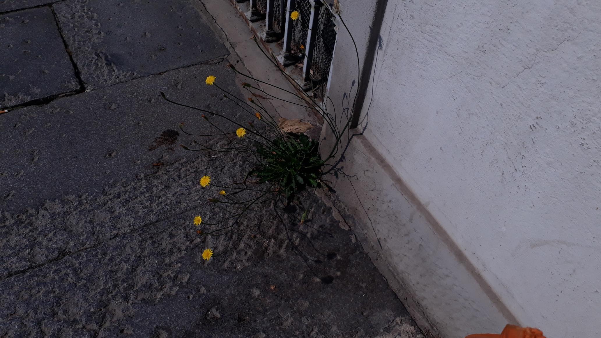 Maria Pace Nemola: Fiorellini selvatici negli interstizi di un marciapiede cittadino