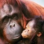Rudi Putra (Avaaz): Salvare gli oranghi e le foreste di Sumatra dai progetti killer delle multinazionali